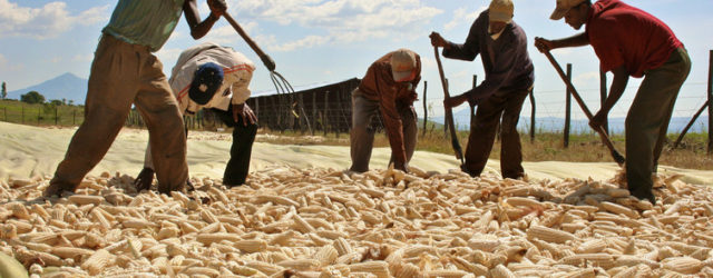 Commercial agriculture in Africa: winners and losers